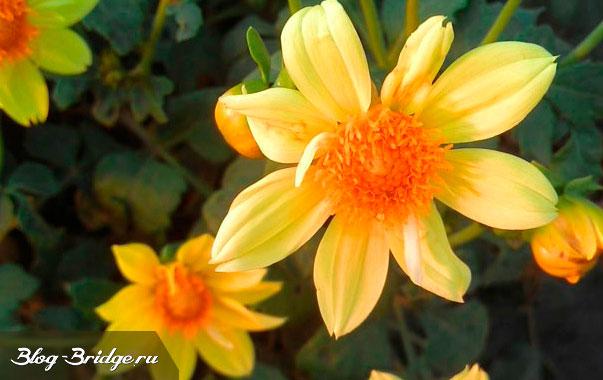 китайские-цветы